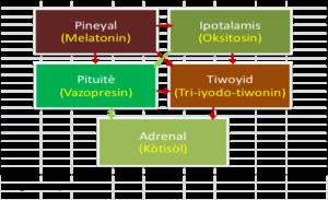 pwen-enpotan-nan-trafik-sikui-andokrin-lan-pipta