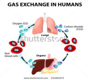 sikilasyon-oksijen-ak-fomasyon-radikal-oksijen-lib